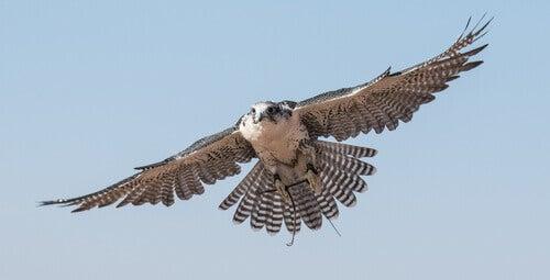 A falcon in flight.
