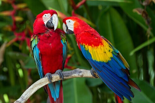 Two macaws on a branch.