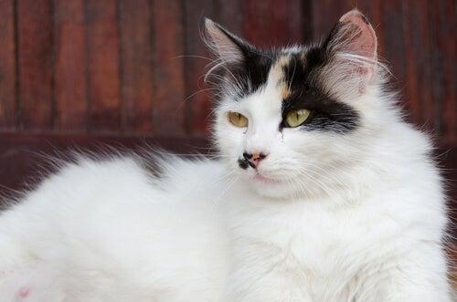 A white pregnant cat.