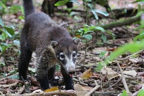 A coati in a forest.