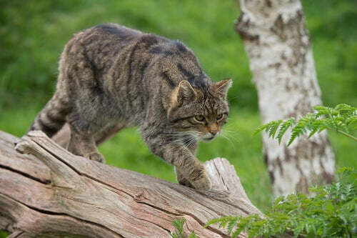 A wild cat ready to hunt.
