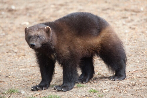 A wolverine on the move.