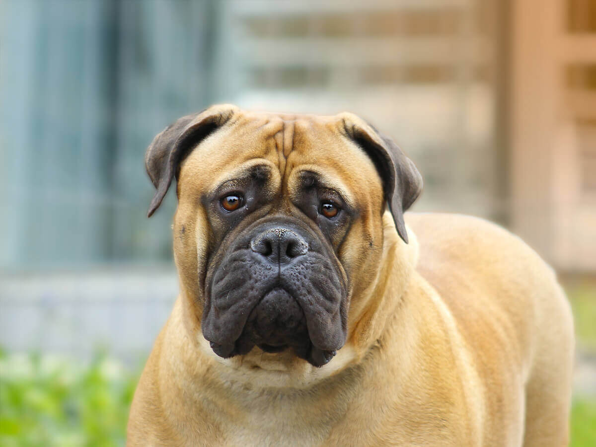 A large bullmastiff with a funny look on its face.