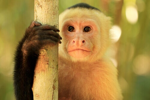 Characteristics and Behavior of the Capuchin Monkey