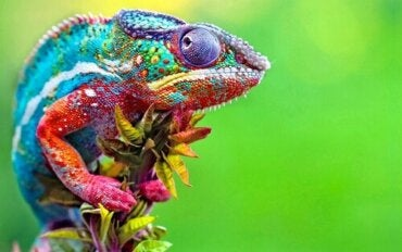 How to Identify the Gender of a Chameleon
