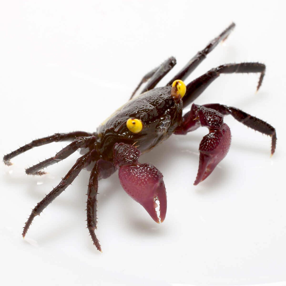 A close up of a vampire crab.