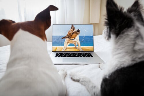 A couple dogs watching a video of a dog.