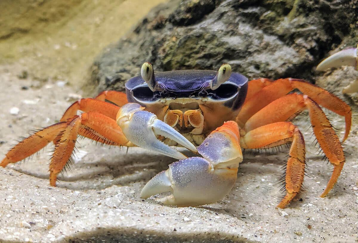 A rainbow crab on the sandy floor of an aquarium.
