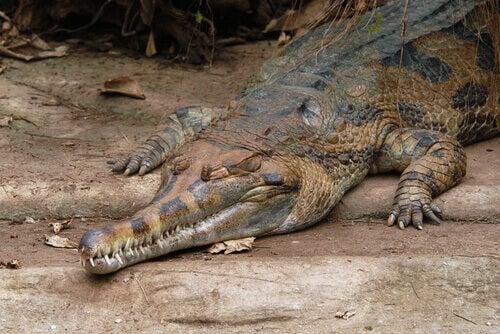 A crawling false gharial.