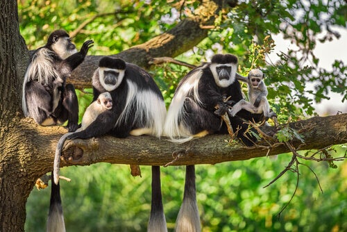 Characteristics, Behavior and Habitat of the Colobus