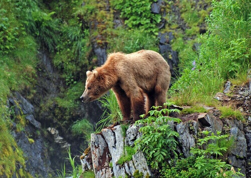 The Grizzly Bear: The Most Famous Forest Animal