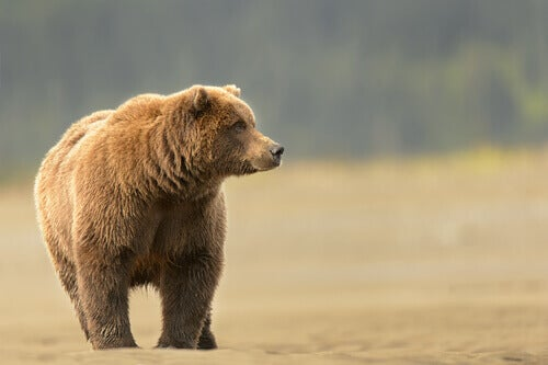 A grizzly bear on an open field.