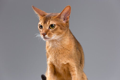 A honey colored cat.
