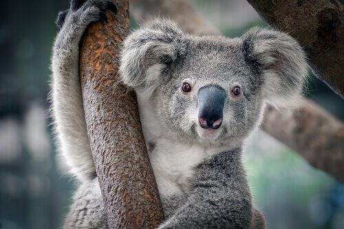 Characteristics and Facts about Koalas
