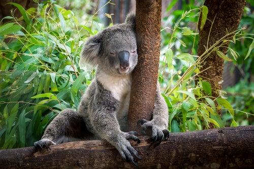 A koala sleeping.