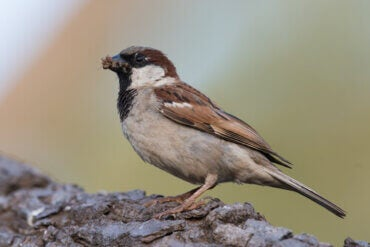 Characteristics of the Sparrow Family