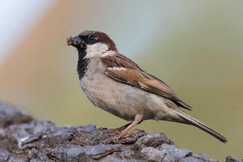 Characteristics of the Sparrow Family