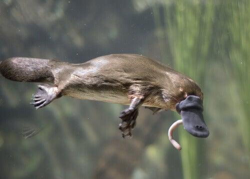 A platypus flying.