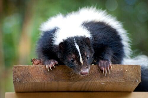 A skunk ready to spray predators.