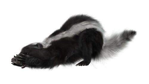 What Makes Skunk Spray Smell So Bad?