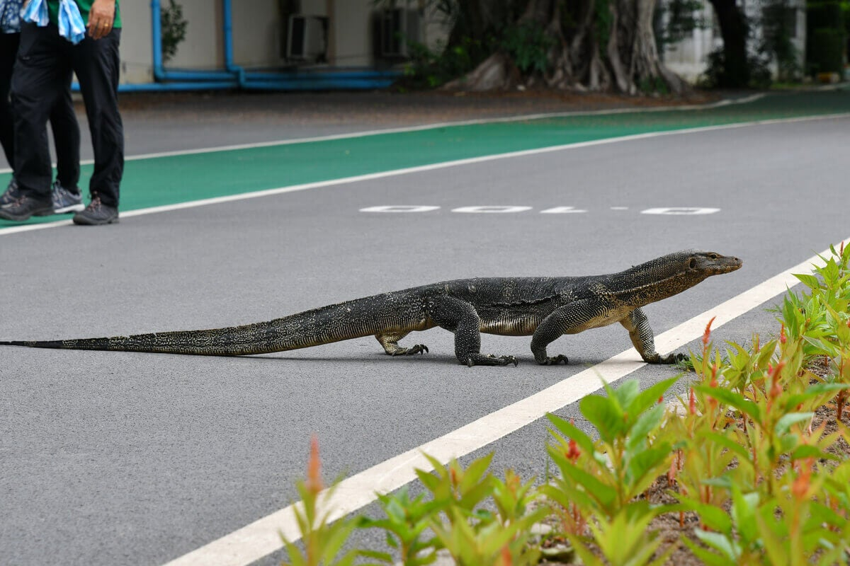 An Asian water monitor walking across the street.