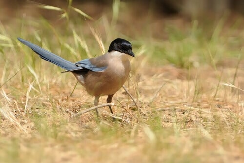 Characteristics and Behavior of the Iberian Magpie