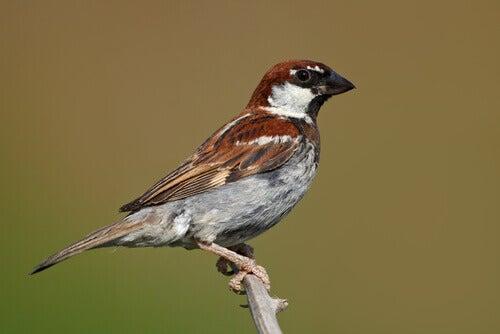 An Italian sparrow.