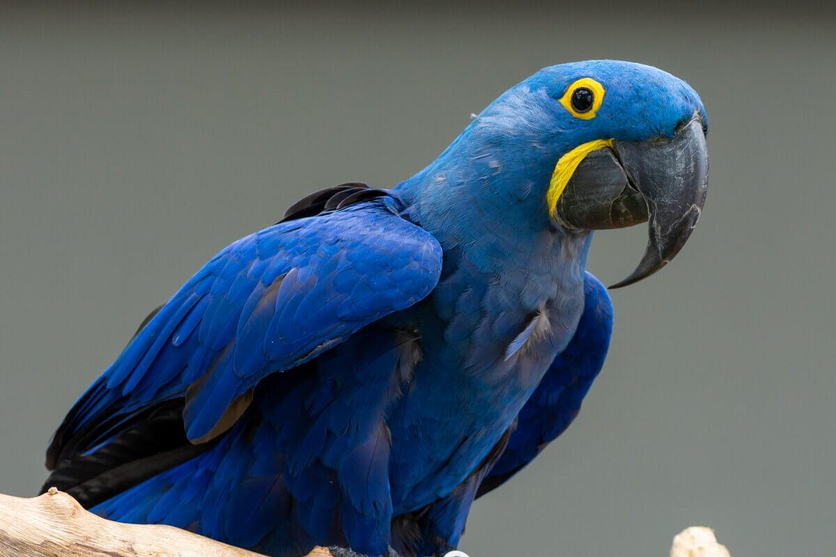 A hyacinth macaw perched on a branch.