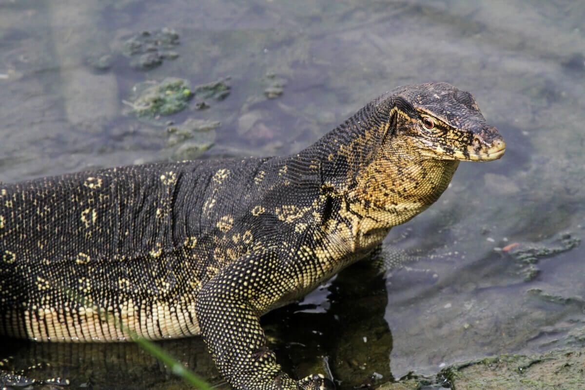 An Asian water monitor in its natural habitat.