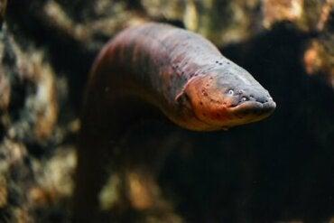 Characteristics of the Eel - Should We Be Afraid Of It?