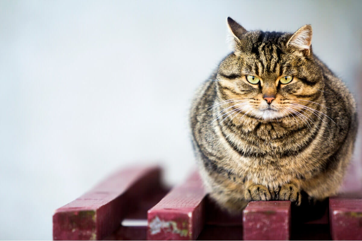 An obese tiger-striped cat perched on a bench.