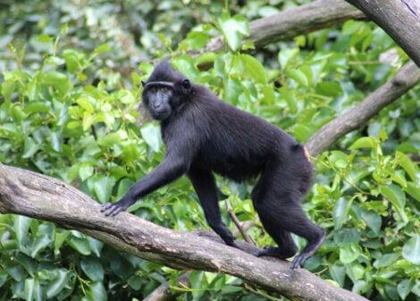 A celebes crested macaque crawling on a branch.