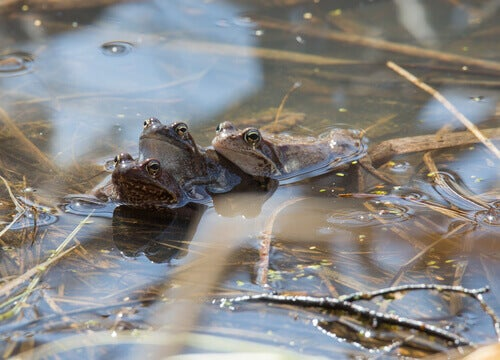 Three frogs in a pond.
