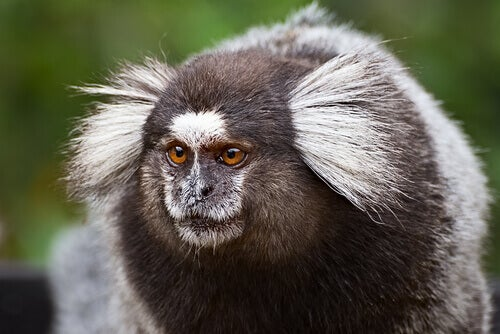 A common marmoset.