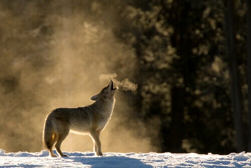 The behavior of the coyote includes howling.