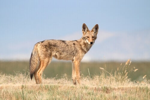 The Typology and Behavior of the Coyote