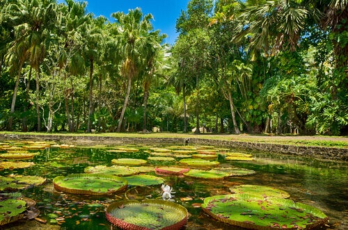 A pond full of lily pads and surrounded by palm trees.