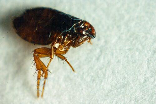 Fleas feed on blood.
