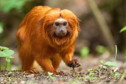 A tamarin with bright orange hair.