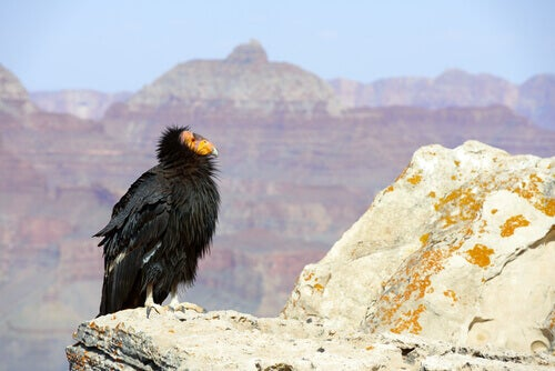 A California condor perched over a canyon.