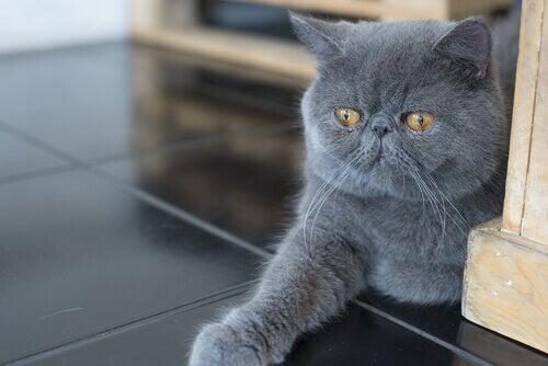 Gray cat.