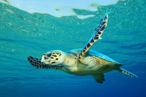 A hawksbill turtle swimming underwater.