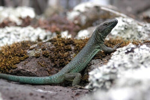 A Madeira lizard on a rock.