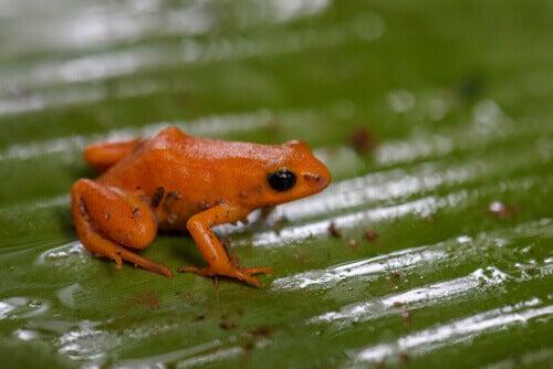 A tiny red Mantella milotympanum.
