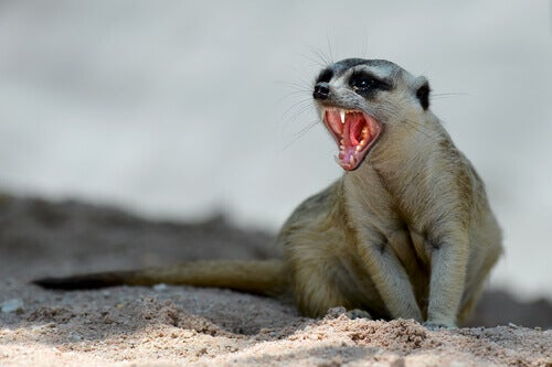 A hissing mongoose.