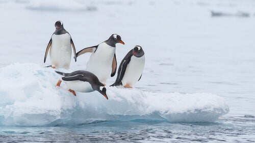 Four penguins standing on a block of ice, and one of them about to jump into the water.