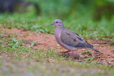 Pigeon dove.