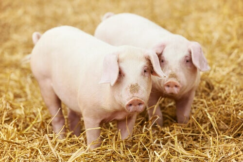 Two pink pigs standing in hay.