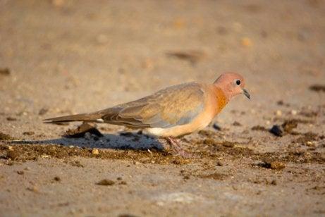 Senegalese turtle dove.