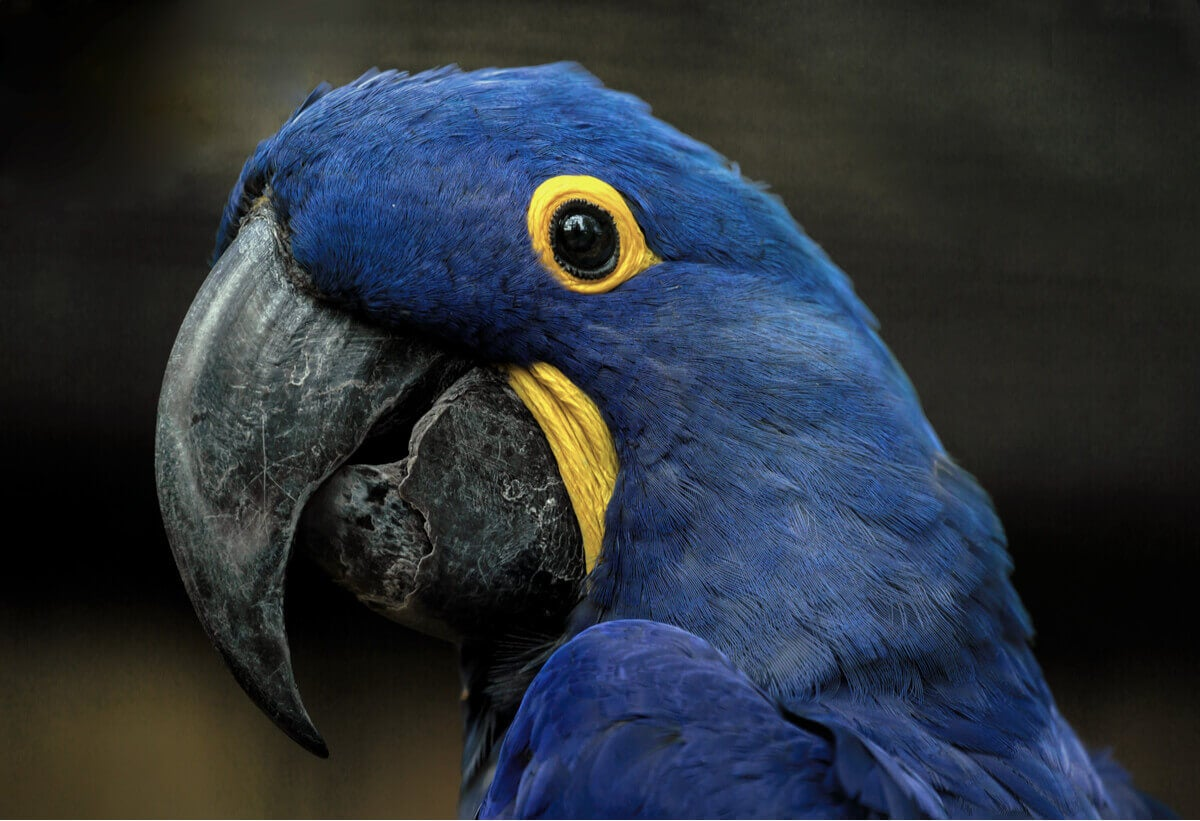 The face of a hyacinth macaw.